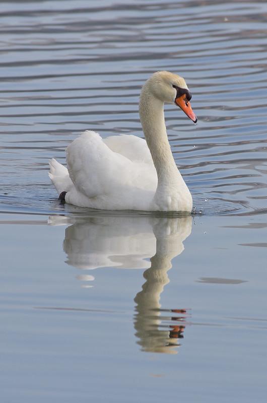 Mute swan in Argostoli Lagoon