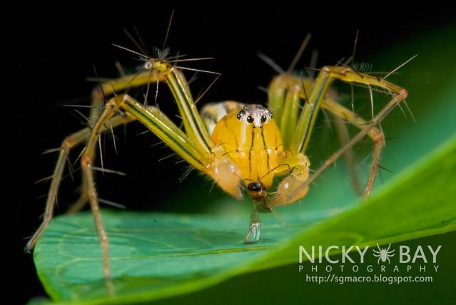 Lynx Spider (Oxyopidae) - DSC_8022