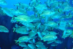 School of Blue Striped Grunt (Haemulon sciurus) fish
