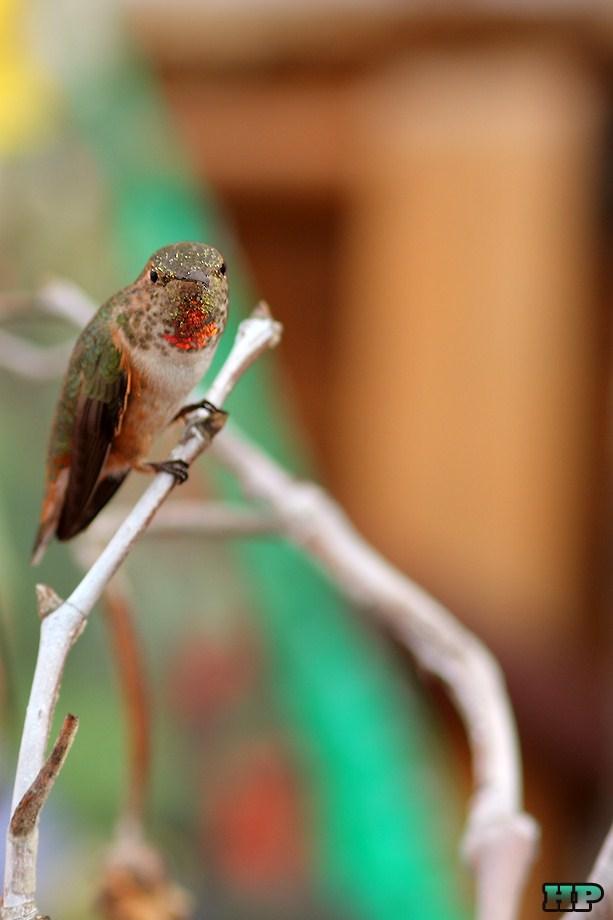 Allen's Hummingbird 010213-3