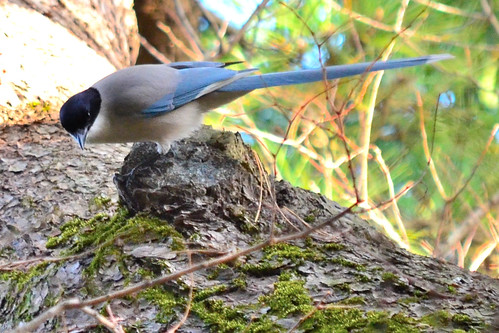 オナガ (Azure-winged Magpie)