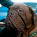 French Mastiff at Dogmanay - Edinburgh, Scotland