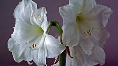 amaryllis belladonna(0.0), cattleya labiata(0.0), cattleya trianae(0.0), flower(1.0), plant(1.0), gladiolus(1.0), flora(1.0), plant stem(1.0), hippeastrum(1.0), petal(1.0),