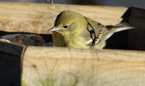 Pine Warbler by Karen Bonsell