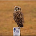 My First Short Eared Owl by Catsbow