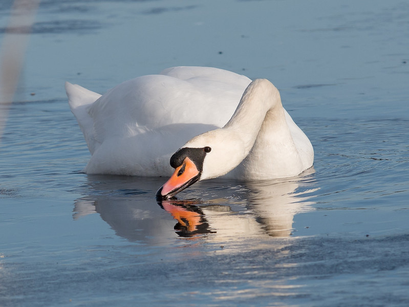 Swan in winter