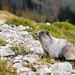 Hoary marmot by Bryn Tassell