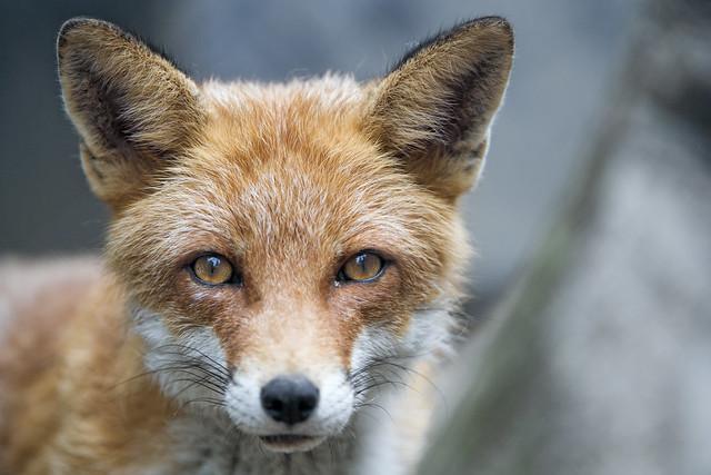 Cute fox looking at me