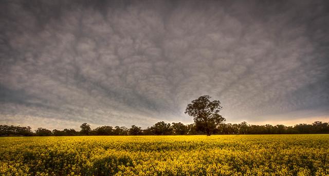 Cloud Fantail Formation, Canola Farm Elmore