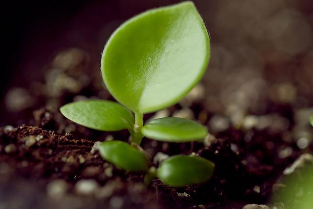 Hoya Mathilde seedling