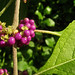 Small photo of American Beautyberry (Callicarpa americana)
