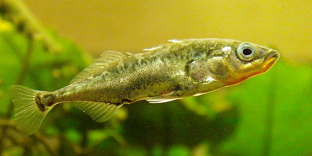 Three-spined stickleback profile