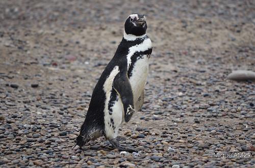 Patagonia: Pingüinos en Punta Tombo