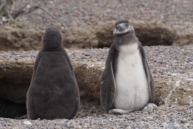 pingouins7_C210063