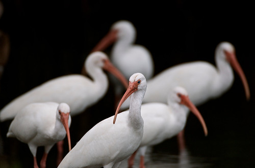 nature birds outdoors nikon florida ibis whiteibis shorebirds verobeachflorida nikond7000 ringexcellence dblringexcellence