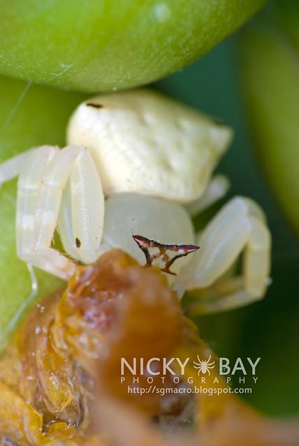 Crab Spider (Thomisidae) - DSC_1152