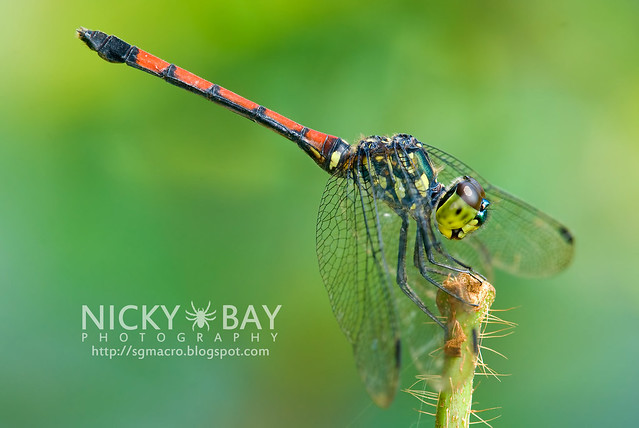 Dragonfly (Anisoptera) - DSC_9733