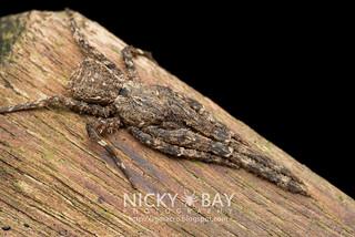 Litter Crab Spider (Borboropactus sp.) - DSC_2903