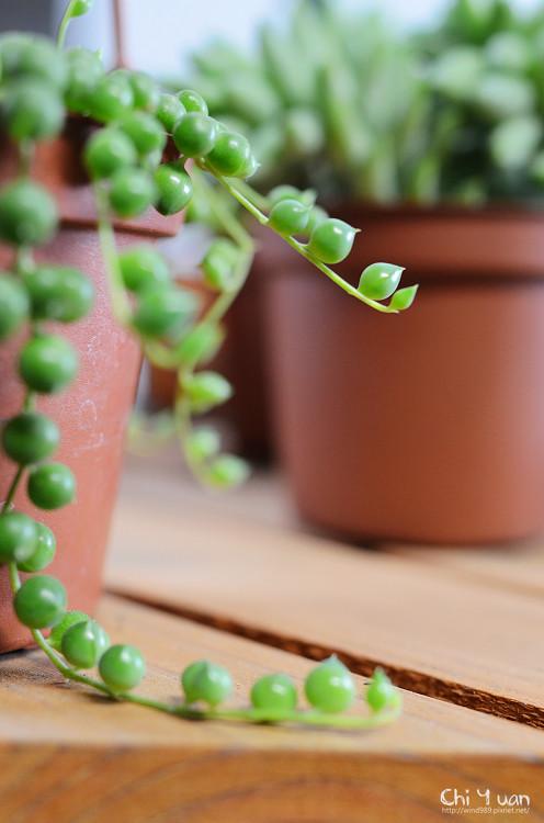 2012多肉植物26.jpg