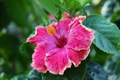 shrub(0.0), rosa chinensis(0.0), flower(1.0), plant(1.0), macro photography(1.0), flora(1.0), chinese hibiscus(1.0), petal(1.0),