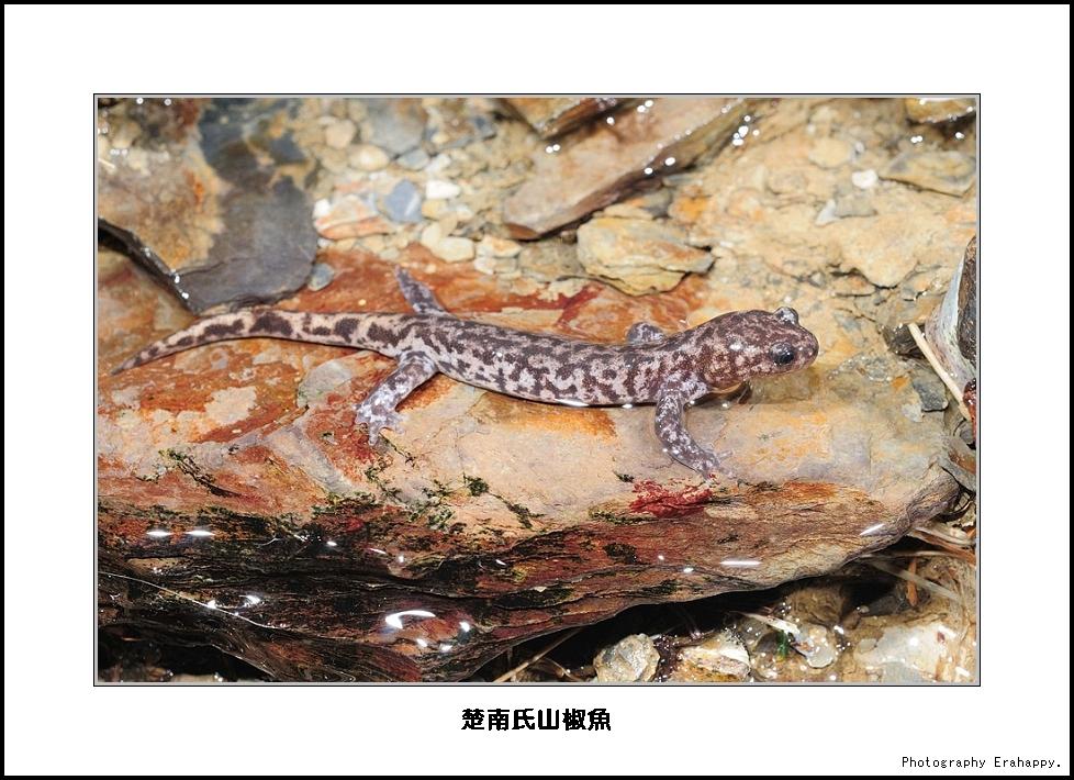 四種山椒魚