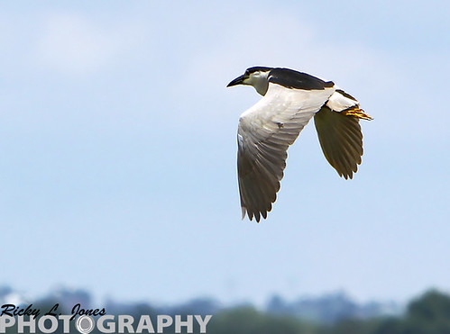Black-Crowned Nigh Heron by Ricky L. Jones Photography