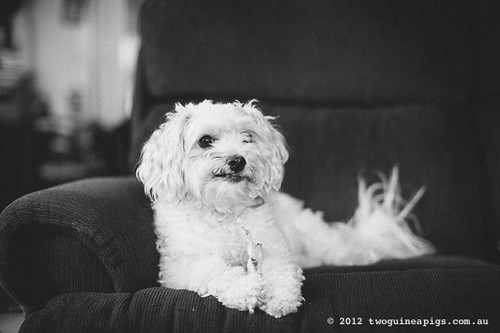 Mozart the maltese/poodle/other by twoguineapigs pet photography