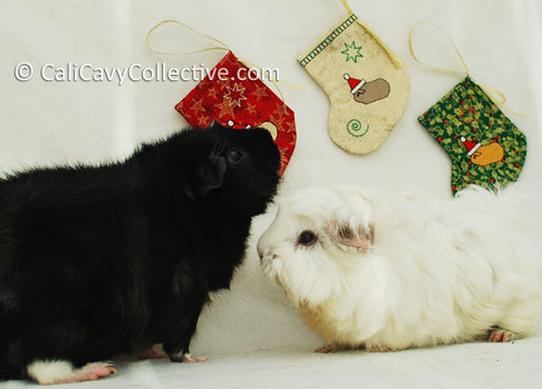 Guinea pigs Revy and Abby-Roo waiting for treats by their Christmas stockings