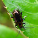 Small photo of Altica species. (Flea beetle). Chrysomelidae