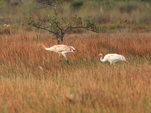 Whooping Cranes 2012 15 Cypress male and 13 Tussock female 20130106