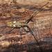 Small photo of Batocera sp.