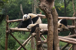 Several Giant Pandas who rest on their platform