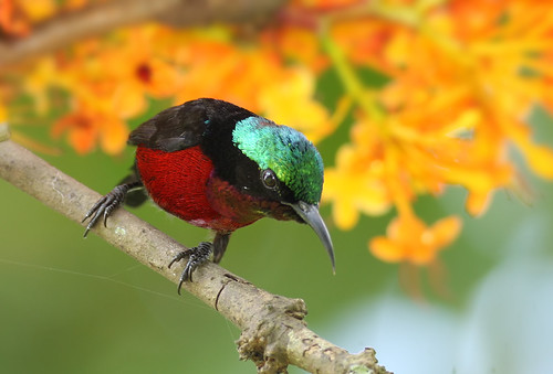 Purple-throated Sunbird