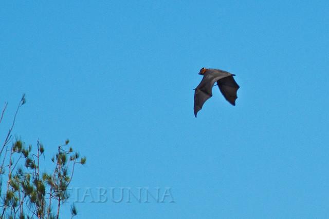 Australian Grey-headed Flying Fox