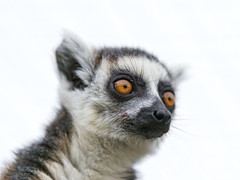 [Free Images] Animals (Mammals), Monkeys, Ring-Tailed Lemur ID:201301241000