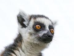 [フリー画像素材] 動物 (哺乳類), 猿・サル, ワオキツネザル ID:201301241000
