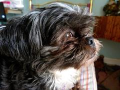 dog breed(1.0), animal(1.0), dog(1.0), schnoodle(1.0), pet(1.0), lã¶wchen(1.0), tibetan terrier(1.0), bolonka(1.0), havanese(1.0), lhasa apso(1.0), shih tzu(1.0), affenpinscher(1.0), carnivoran(1.0),