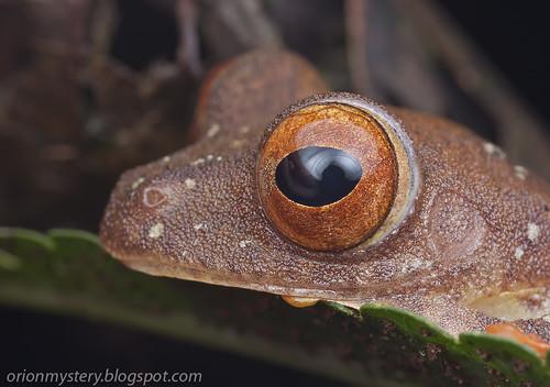Harlqeuin flying frog (Rhacophorus pardalis) IMG_6870 stk copy