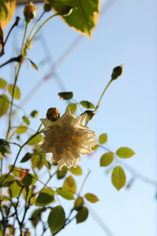 Miniature rose 'Honeymilk' — Миниатюрная роза 'Honeymilk'