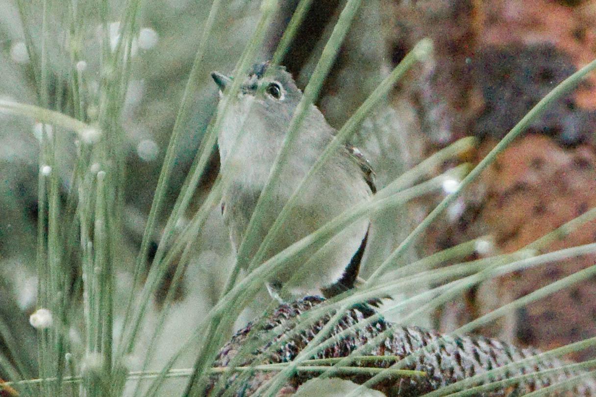 Vireonidae image