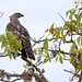 Changeable Hawk Eagle (Crested Hawk Eagle), Ian Wade by Disorganised Photographer - Ian Wade - Travel, Wil