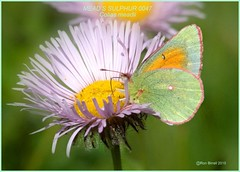 Mead's Sulphur Colorado butterfly photography by Ron Birrell; DSC_0047_