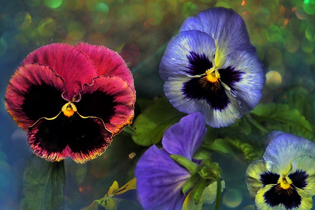 Sonnenberg Gardens & Mansion Historic Park ~ Canandaigua NY ~  Painted  Pansies Bokehs