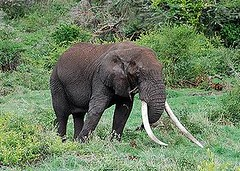 2007年12月,在坦尚尼亞阿魯沙(Arusha)的恩格龍格龍(Ngorongoro)保護區,一頭還有著巨大象牙,但數量稀少的非洲象。(Alain Poussnik 攝)