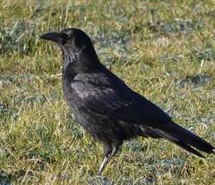 emberizidae(0.0), blackbird(0.0), rook(0.0), animal(1.0), raven(1.0), crow(1.0), fauna(1.0), american crow(1.0), beak(1.0), bird(1.0), wildlife(1.0),