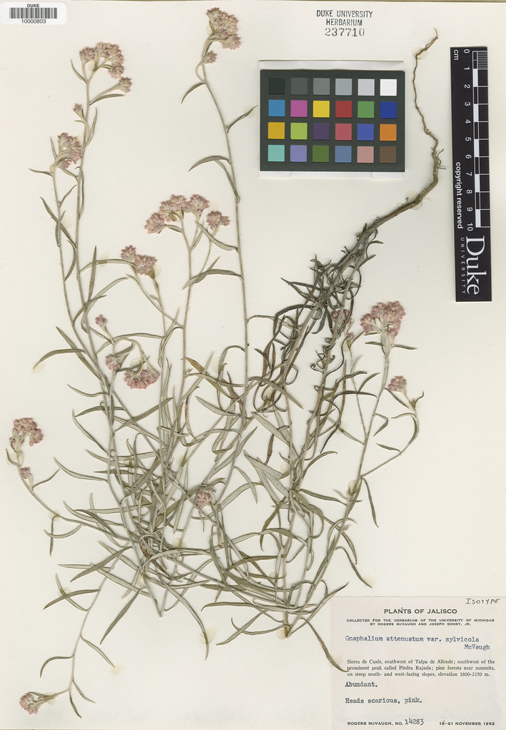 Asteraceae_Gnapahlium attenuatum