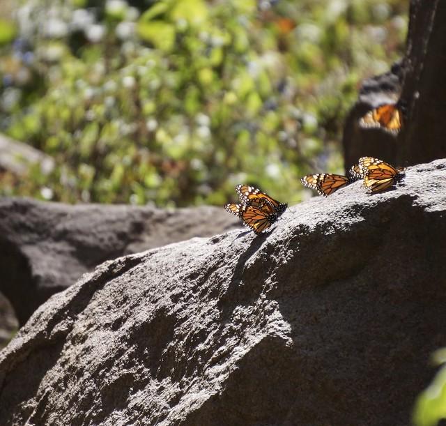 Monarchs 318