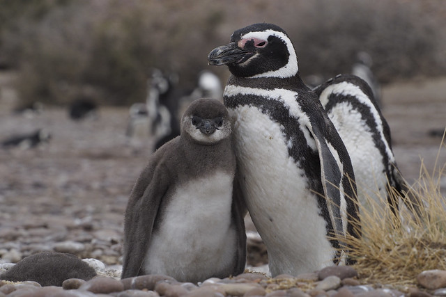 pingouins5_C220096