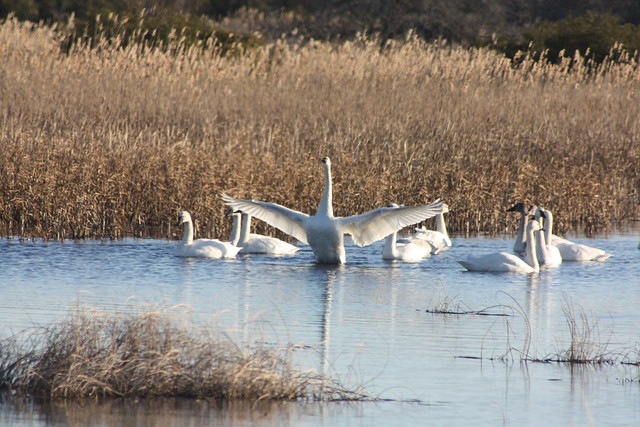 Tundra Swans stretching their wings