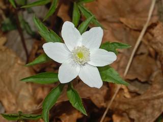 Ranuncolaceae - Anemone trifolia